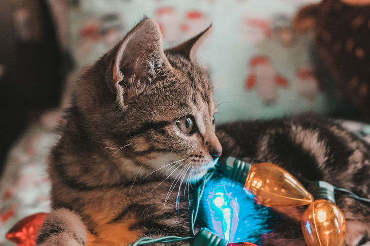 Cats Cats Of EyeEm Cats 🐱 Cat Lovers Christmas Christmas Lights Christmas Decoration Christmas Pets Pets Indoors  Close-up Lightroom Cats Eyes Cat Photography