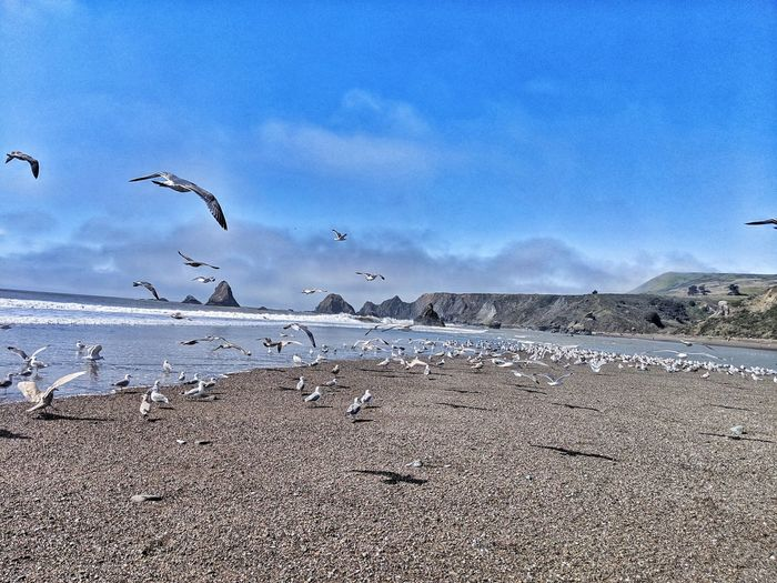 In flight! Russian River meets Pacific ocean. Ocean Background Therapeutic Zen Soil Contrast Dirt Sandbar Blue Sky Dramatic Motion Bird Flying Sea Water Beach Flock Of Birds Sand Sky Animal Themes Seagull Colony Sea Bird Spread Wings Perching