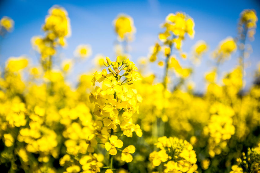Agriculture Beauty In Nature Close-up Crop  Day Farm Field Flower Flowering Plant Fragility Freshness Growth Land Mustard Plant Nature No People Oilseed Rape Outdoors Plant Selective Focus Springtime Vulnerability  Yellow