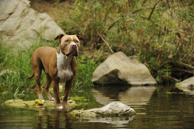 American Pit Bull Terrier dog American Pit Bull Terrier Animal Animal Themes Day Domestic Animals Nature No People One Animal Pets Pit Bull Pitbull Terrier Water