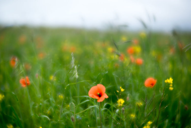Outer Hebrides Beauty In Nature Day Field Flower Flowers Fragility Freshness Grass Green Color Growth Landscape Machair Nature No People Outdoors Plant Poppies  Poppy Poppy Flowers Rural Scene Selective Focus Tranquility Velvet56