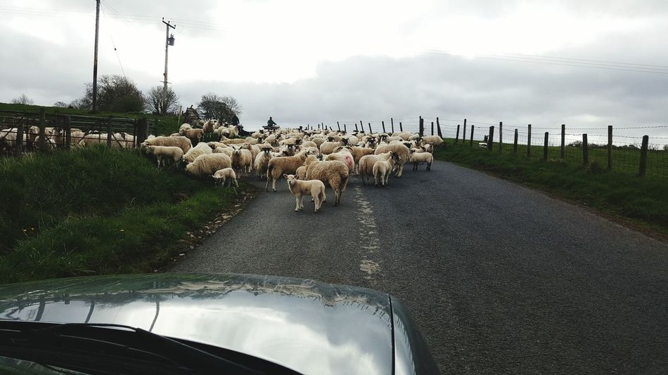 Traffic Jam Driving Through Working Day Life Wooly JumperSheep Animals Rural Scenes Farm Life Sheep Herding