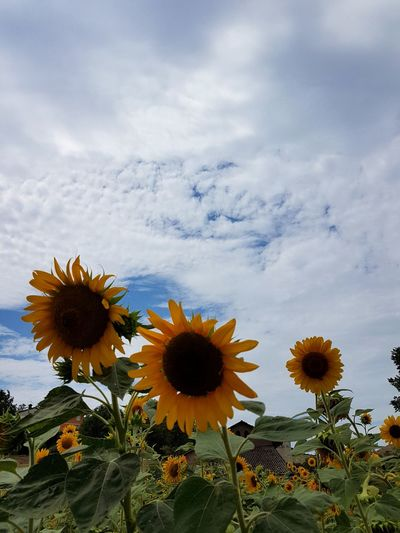 Flower Plant Nature Growth Flower Head Beauty In Nature Uncultivated Cloud - Sky Outdoors No People Day Sky Tranquility Sunflower Travel Destinations Scenics Landscape Tree Close-up