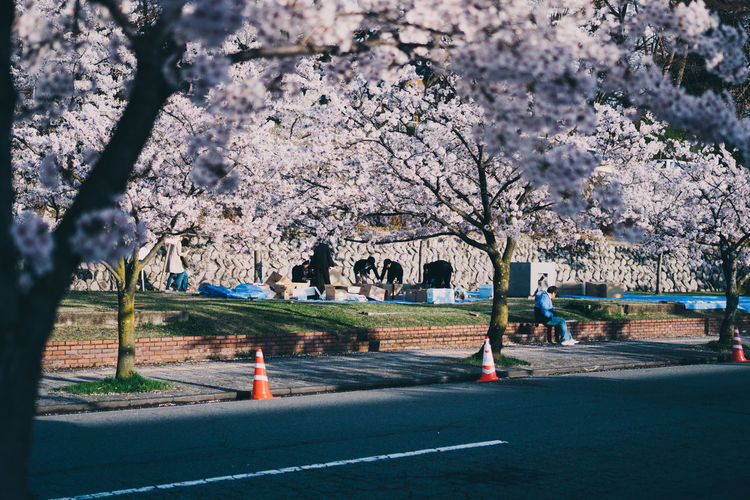 View of cherry blossom from road