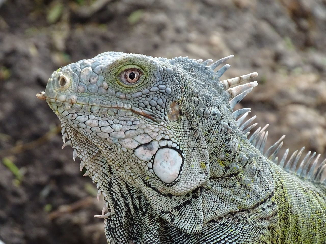 one animal, animals in the wild, animal wildlife, animal themes, reptile, day, close-up, focus on foreground, lizard, outdoors, iguana, no people, nature