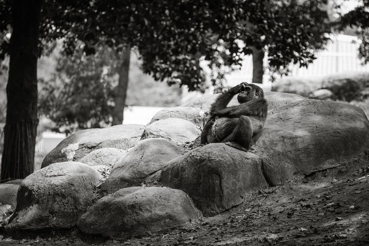 Gorilla relaxing on rock at forest