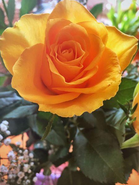 Zum Weltfrauentag ... Weltfrauentag Rose🌹 Rosen Flower Flowers Flowers,Plants & Garden Flowers, Nature And Beauty Frauentag World