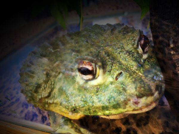 Frog Grastoteca Close-up Amphibian Anura Texture Looking At Camera