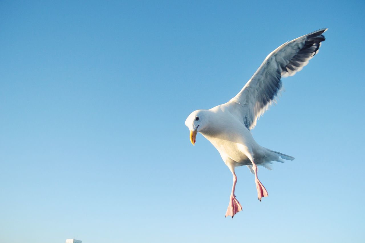 one animal, spread wings, bird, flying, animal themes, animals in the wild, copy space, seagull, low angle view, clear sky, mid-air, day, nature, animal wildlife, no people, outdoors, sky, close-up