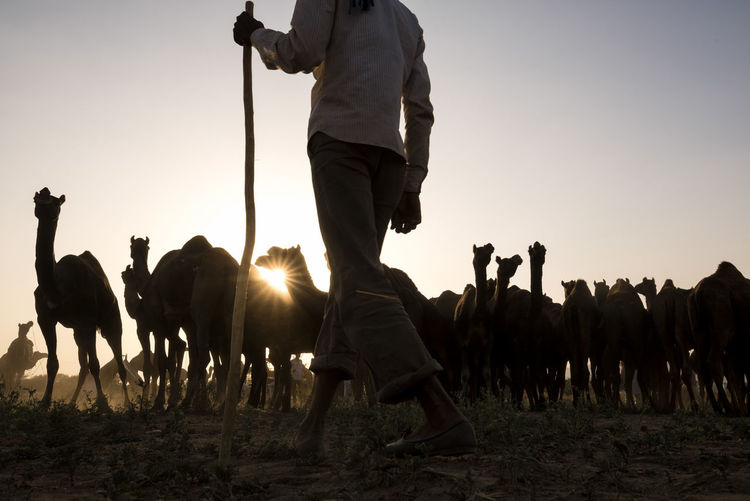 Low section of man walking on field by camels