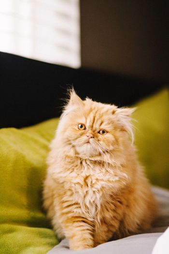 Portrait of persian cat relaxing on couch at home