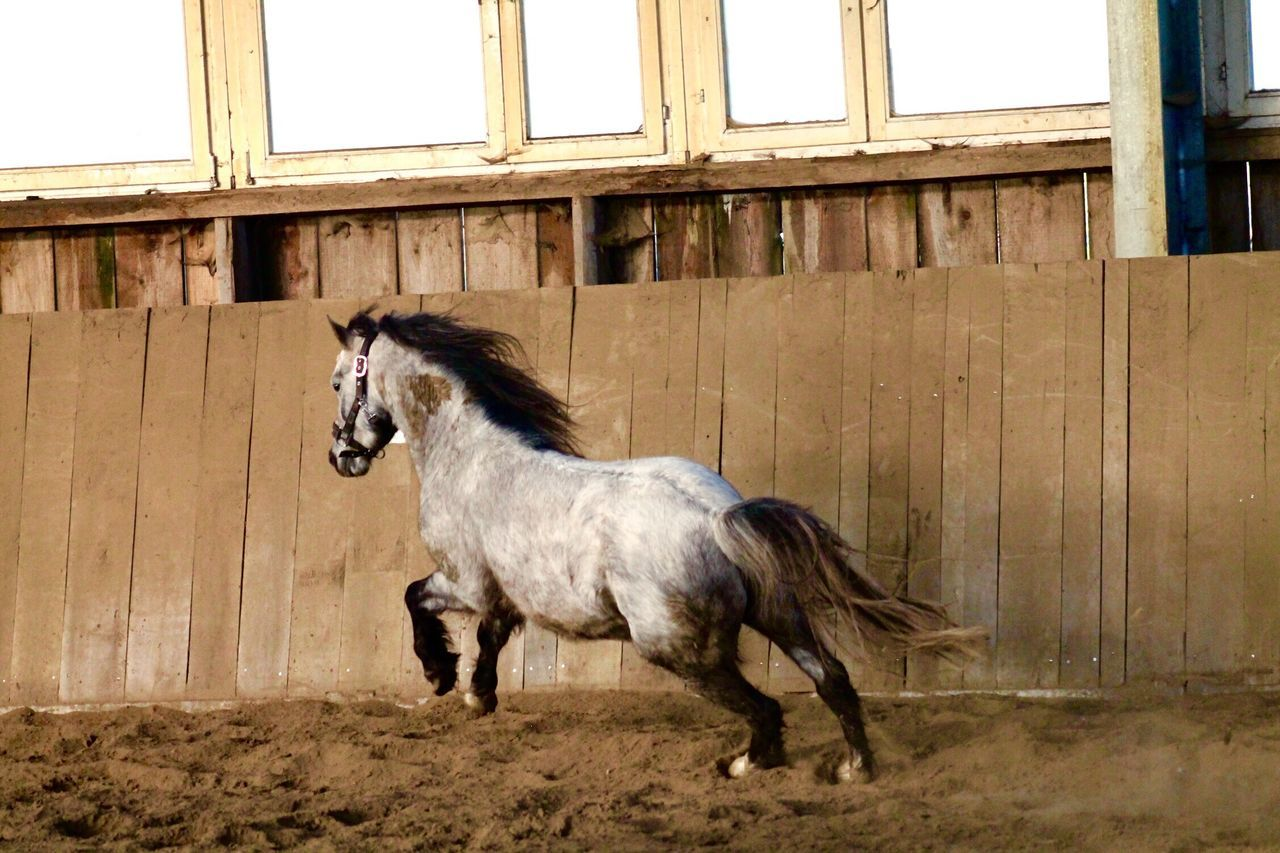horse, domestic animals, animal themes, mammal, one animal, livestock, day, standing, no people, barn, full length, outdoors
