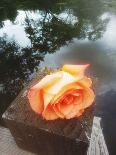 Water_collection Pink Rose Taking Photos