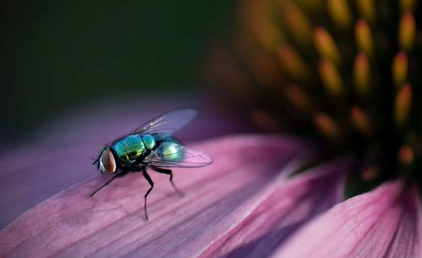 Close-up macro shot of fly on pink flower