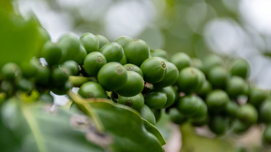 Agriculture Arabica Arabica Coffee ASIA Background Bean Beans Berries Berry Beverage Branch Bush Caffeine Closeup Coffea Coffea Arabica Coffee Composition Crop  depth of field Drink Farm Farming Food Fresh Fruit Green Grow Growth Harvest Industry Leaf Nature Organic Photography Plant Plantation Raw Raw Coffee Red Ripe Robusta Technique Thailand Tree Tropical Unripe Using Green Color Food And Drink Close-up Freshness Healthy Eating Selective Focus No People Day Plant Part Beauty In Nature Wellbeing Focus On Foreground Outdoors