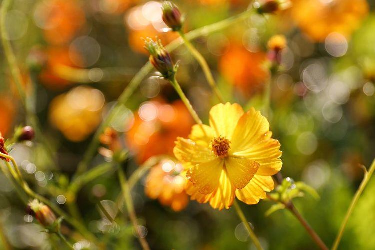 활짝핀 촉촉한 - 황화코스모스 . . #하루한컷 #물의정원 #황화코스모스 #가을 #아침이슬 #5DMARK4 #새아빠백통 #EF70200F28LIIISUSM Flower Head Flower Defocused Yellow Summer Nature Reserve Botanical Garden Insect Petal Uncultivated