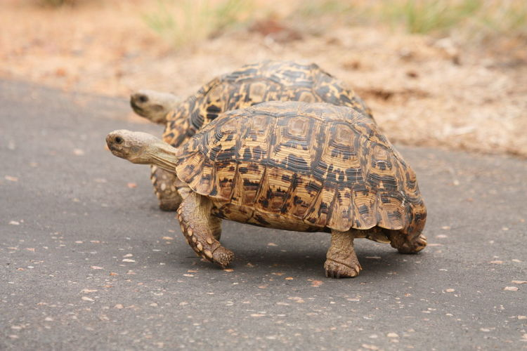 Side view of tortoises on road