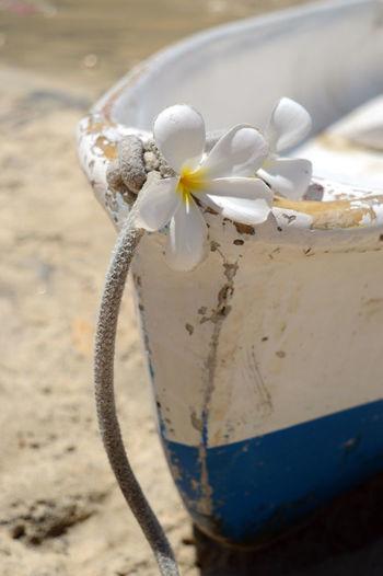 Close-up of frangipani on wooden boat