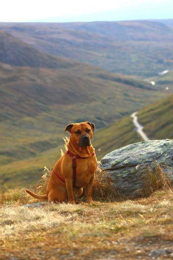 Hikingadventures Happy Dog Mountain View Pitbullmix Pitbull Love Pitbulllife Pitbullsarefamily Pitbull♥ Summer Summer Views Summer Dogs First Eyeem Photo