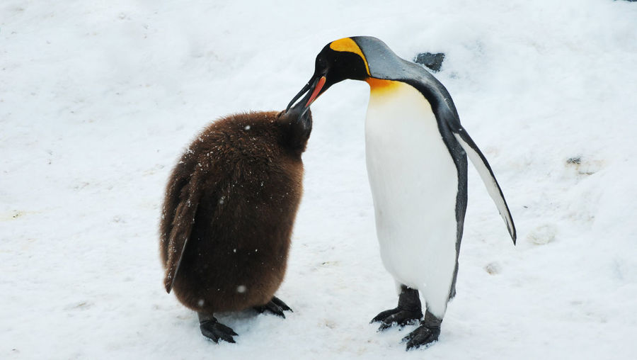 Penguin with young bird on snow covered field