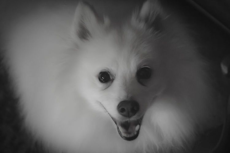 Bw Eskimo Dog Smile First Eyeem Photo