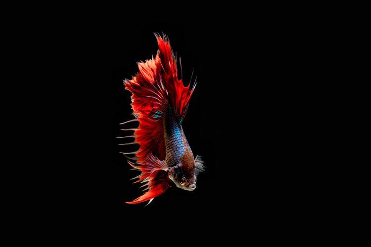 Beta Fish Dance