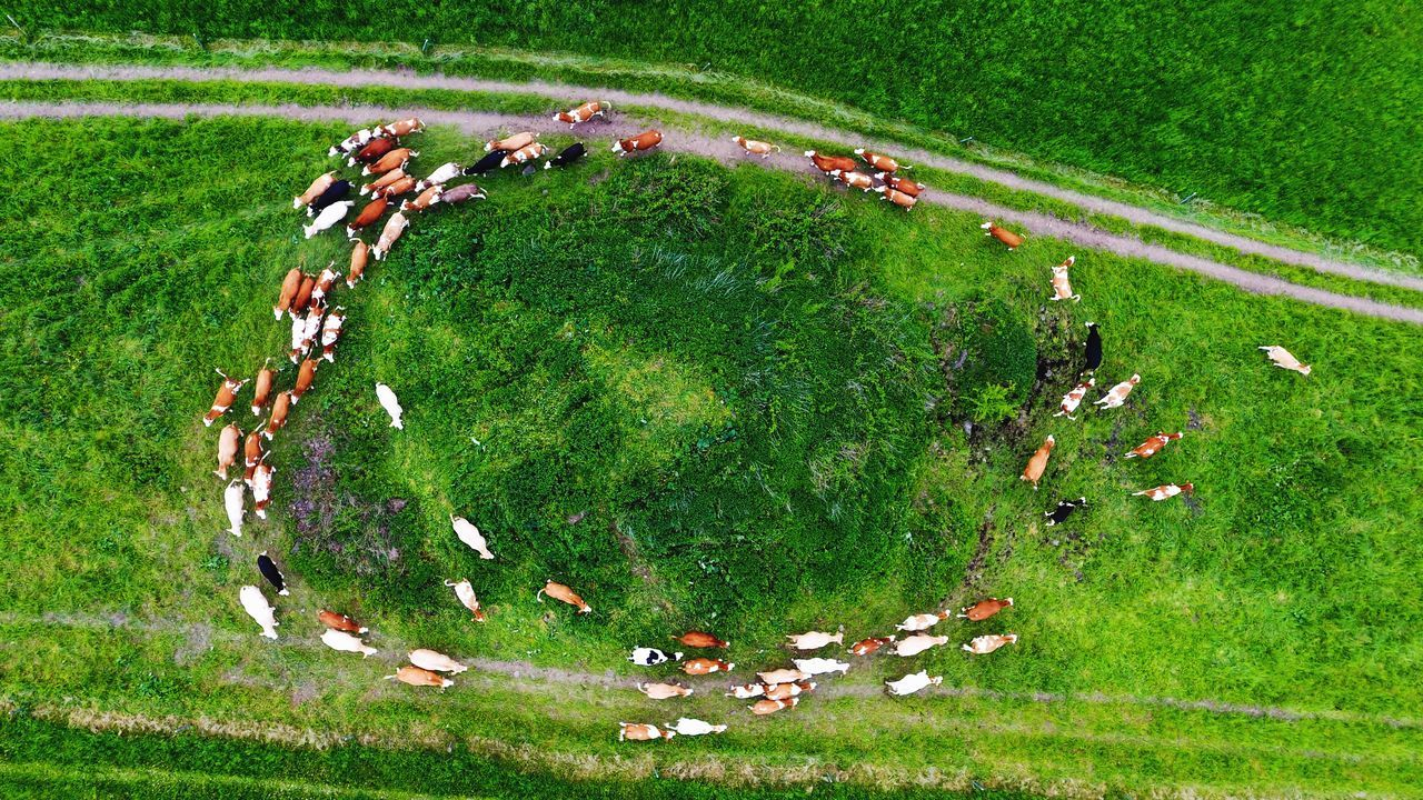 High Angle View Of Cows On Grassy Field