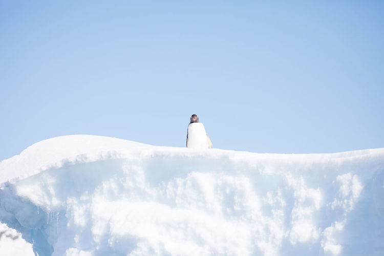 Penguin on snowy field against clear sky