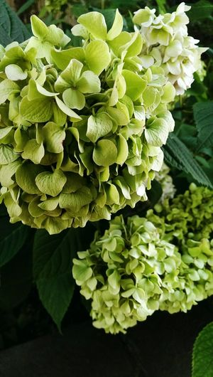 hortensia flowering plants backdrop Flower Head Flower Leaf Vegetable Close-up Plant Green Color Hydrangea Bunch Of Flowers Blooming In Bloom Plant Life Botany
