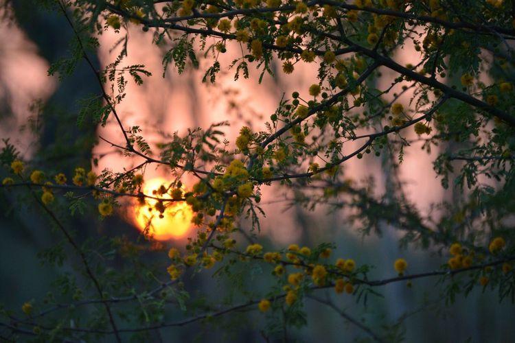 Sunset Huisache