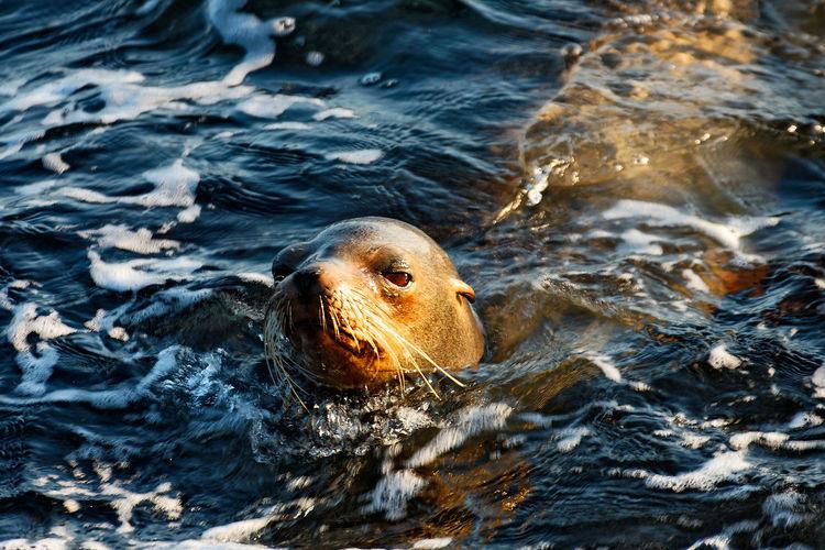 Galápagos fur seal from galapagos island