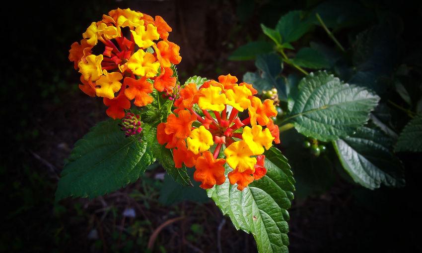 #EyeEmEsterlinda Autumn Beauty In Nature Beauty In Nature Flower Lantana Camara Nature Nature Naturecolors Naturelovers Petal Yellow Flower