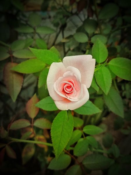 #EyeEmNewHere #Nature  #naturephotography #EyeEm Nature Lover #flowerphotography #flower #flowerphotography #Rose #Pink  #White #Garden #Morning Flower Head Flower Leaf Petal Rose - Flower Close-up Blooming Plant Green Color Wild Rose Pale Pink Single Rose In Bloom Plant Life Rosé Bud Blossom Pink EyeEmNewHere A New Beginning This Is Strength