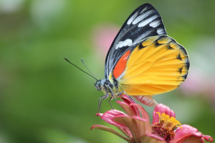 Butterfly Collection Butterfly Zinnias, Flowers Zinnia  Butterfly - Insect Insect Animals In The Wild Flower Animal Themes Nature Fragility One Animal Freshness Beauty In Nature Petal Close-up No People Butterfly Animal Wildlife Focus On Foreground Growth Day Outdoors Plant