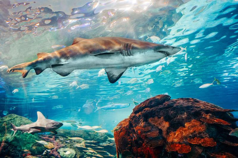 Giant scary sharks under water in aquarium. sea ocean marine wildlife predators