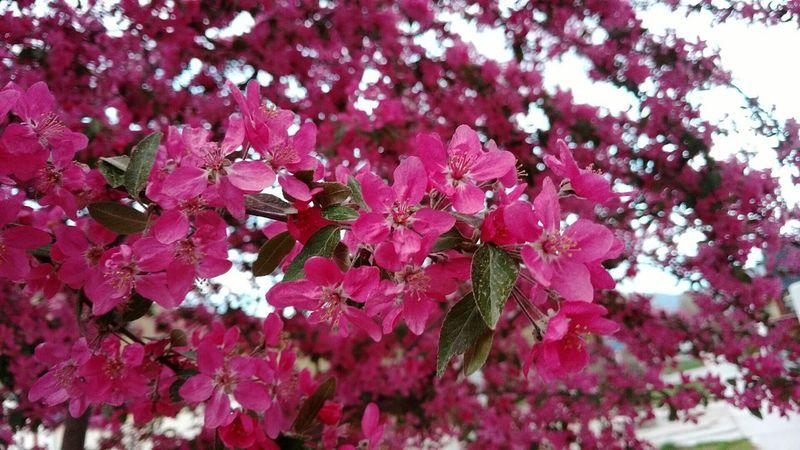 Arboles En Flor Flores Primavera Ciruelo Planta árbol Tree Spring in Street