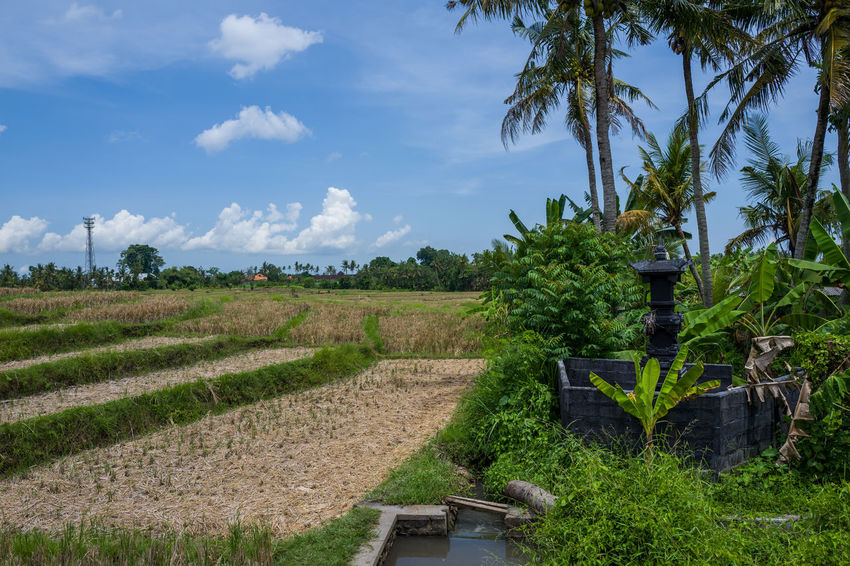 Canggu Rice Fields Agriculture Beauty In Nature Cloud - Sky Day Farm Field Green Color Growth Land Landscape Nature No People Outdoors Plant Rural Scene Scenics - Nature Sky Tranquil Scene Tranquility Tree