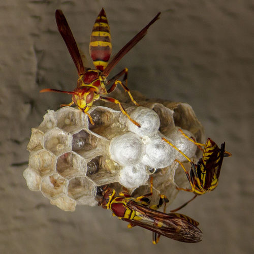 Close-up of paper wasps on nest