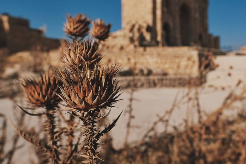 Sharp and Dry Hot Summer Days Travel Photography Jerash - Jordan Fujifilm_xseries Ancient Ruins Archaeological Sites Arid Climate Flower Head Dried Plant Clear Sky Sunny Close-up Sharp Spiky EyeEmNewHere