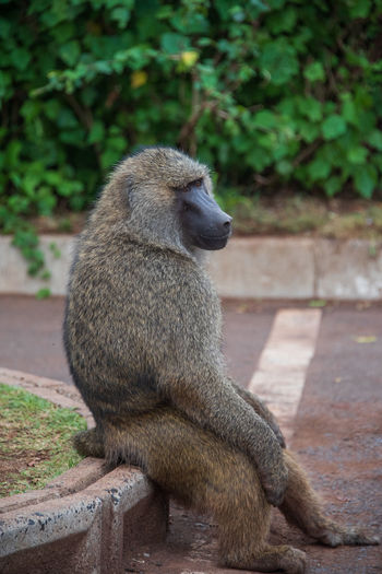 Simply Waiting Tanzania Wildlife & Nature Africa Animal Wildlife Animals In The Wild Baboon Day Focus On Foreground Full Length Looking Looking Away Mammal Nature No People One Animal Outdoors Primate Safari Sitting Vertebrate