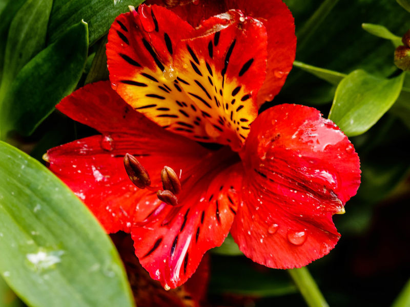 ALSTROEMERIA RED BARON: A long stemmed species of Alstroemeria, producing stunning bright red flowers with the usual black markings on the petals and a contrasting golden yellow centre. Easy to grow in a sunny free draining situation, Invaluable for its picking qualities. https://www.trademe.co.nz/home-living/outdoor-garden-conservatory/plants-trees/perennials/listing-1837733366.htm Flower Petal Beauty In Nature Close-up Red Flower Head Drop Dew RainDrop Nature Leaf EyeEm Nature Lover