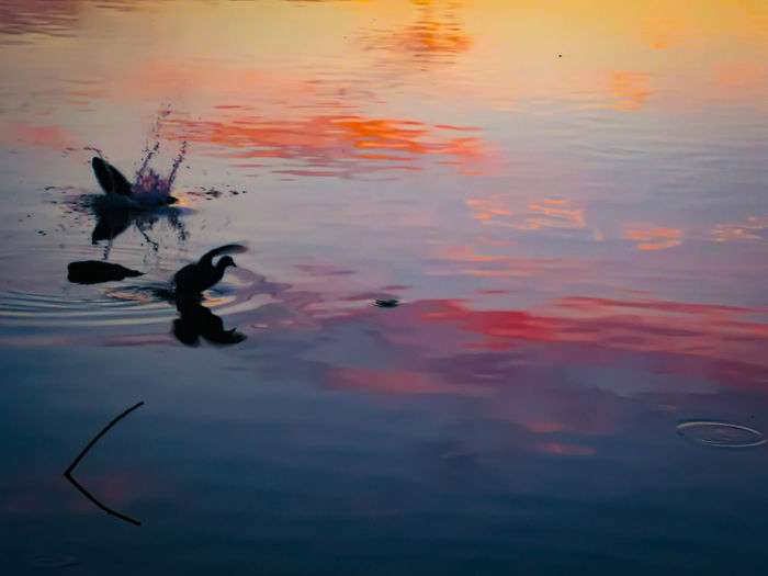 Water Swimming Bird Sunset Reflection Sky The Great Outdoors - 2019 EyeEm Awards My Best Photo The Mobile Photographer - 2019 EyeEm Awards The Minimalist - 2019 EyeEm Awards