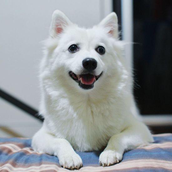 (Instagram: wes_c) Japanese Spitz Cute Pets Dogstagram Pet Photography