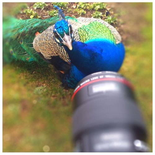 Just before he attacked my camera... Really good to use a filter. Unbelievable Peacock Pfau Tadaa Community Wilhelma Zoo Unglaublich  Attack EyeEm Nature Lover Whatever