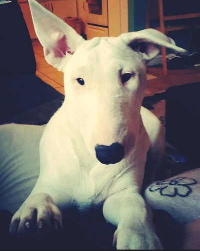 Bull Terrier Dog Pets Domestic Animals One Animal Looking At Camera Animal Themes No People Girl Dog EyeEmNewHere