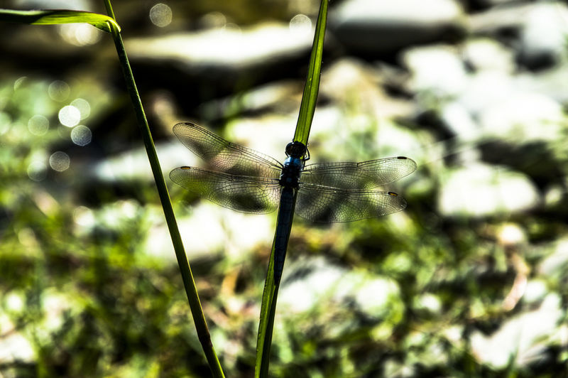 Close up of a blue dragonfly insect, near the river Animal Wildlife One Animal Animal Themes Animal Animals In The Wild Invertebrate Insect Animal Wing Close-up Focus On Foreground Dragonfly Day Plant No People Nature Damselfly Outdoors Beauty In Nature Green Color Selective Focus Butterfly - Insect