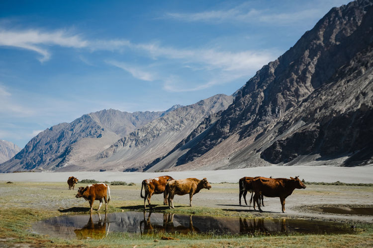 Cows on field against leh mountain range