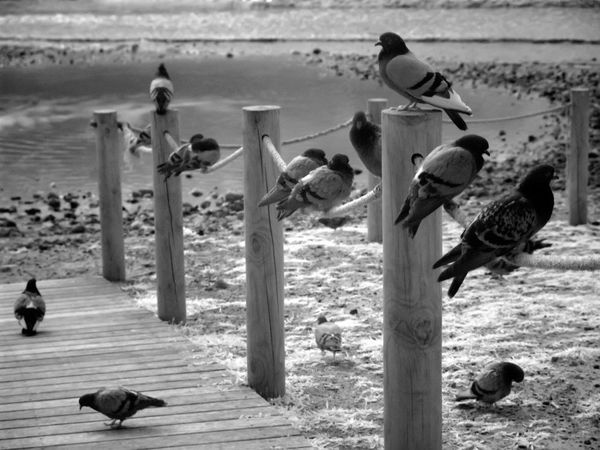 Beach Infrared Photography Nature Pigeons #birds Playing With Pigeons  Sea And Sky Tranquil Scene Tranquility