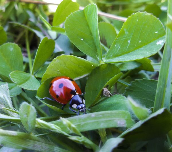 Springtime Mothernature Nature Photography Natureporn Leaf Animal Themes Insect Nature Green Color Animals In The Wild One Animal Plant No People Growth Close-up Day Ladybug Beauty In Nature Beetle Outdoors Fragility