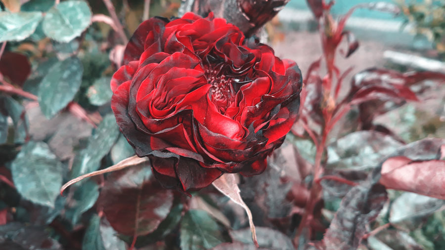 """""""If the rose is beautiful flower, it is also because it opens itself."""" EyeEm Best Shots EyeEm Nature Lover EyeEm Gallery Photography Photo Photooftheday Photigraphie Photographer Phone Photography Flowers, Nature And Beauty Photographing Nature Photography Flowers Photography Nature Green Background Rosé Red Rose Red Color EyeEmNewHere Flower Red Leaf Close-up 10"""